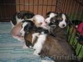 китайская хохлатая собака очаровательные щенки голые и пуховые
