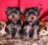 2 йоркширских щенков для продажи, , , ,