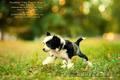 китайские хохлатые щенки