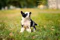 китайские хохлатые щенки - Изображение #2, Объявление #1498473